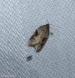 MacDunnough's Acleris  moth (Acleris macdunnoughi), #3506