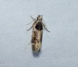 Walsingham's moth (Pseudochelaria walsinghami),  #1864