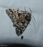 Black zigzag moth  (Panthea acronyctoides),   #9177