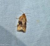 Tortricid moth (Archips nigriplagana),  #3648.2