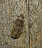 Parsnip webworm moth  (Depressaria radiella), #0922