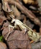 Sod webworm moth  (Pediasia trisecta), #5413