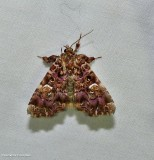 Pink-shaded fern moth (Callopistria mollissima), #9631
