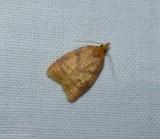 Maple-basswood leafroller moth (Cenopis pettitana), #3725