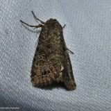 Glassy cutworm moth ( Apamea devastator), #9382
