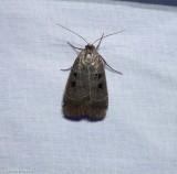 Collared dart moth (Anorisma bugrai), #10954