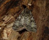 Dappled dart moth ( Anaplectoides pressus), #11001