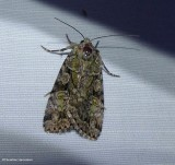 Dappled dart moth (Anaplectoides pressus), #11001