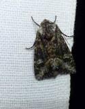 Olive arches moth  (Lacinipolia olivacea),  #10406