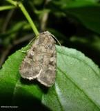 Knee-joint dart moth  (Feltia geniculata), #10680