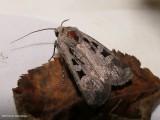Euxoa tristicula moth  (Euxoa tristicula), #10723