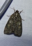 Small oak dagger moth   (Acronicta increta), #9249