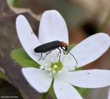 Red-necked false blister beetle (Asclera ruficollis)