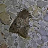 Gray quaker moth (Orthosia alurina), #10491