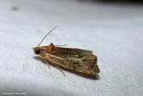 Tortricid moth (Olethreutes quadrifidum), #2794