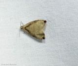 Wretched olethreutes moth  (Olethreutes exoletum), #2791
