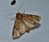 Wood-colored apamea moth  (Apamea lignicolora), #9333