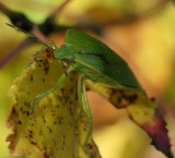 Green stinkbug (Chinavia hilaris)