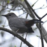 Thrashers and Gray Catbirds