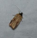 Twirler moth (Agonopterix atrodorsella), #0864