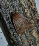 Norman's quaker moth (Crocigrapha normani),  #10501