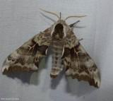 One-eyed sphinx moth  (Smerinthus cerisyi), #7822