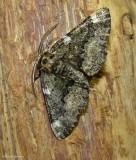 Oak beauty moth  (Phaeoura quernaria), #6763