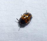 Darkling beetle  (Diaperis maculata)