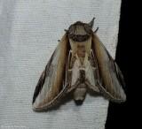 Black-rimmed prominent moth  (Pheosia rimosa), #7922