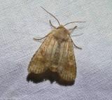 Singed pinion moth (), #9885