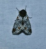 Harris's three-spot moth  (Harrisimemna trisignata), #9286