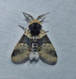Modest furcula moth  (Furcula modesta), #7941