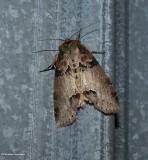 Tufted thyatirid moth (Pseudothyatira cymatophoroides), #6237