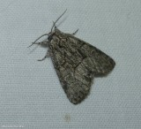 Brother moth (Raphia frater), #9193