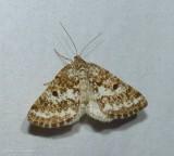 Powder moth (Eufidonia)