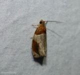 Hydrangea leaftier moth (Olethreutes ferriferana), #2827