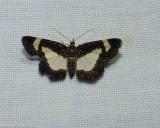 Common spring moth  (Heliomata cycladata),  #6261