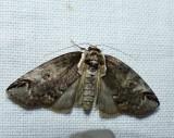Eyed baileya moth  (Baileya ophthalmica),  #8970