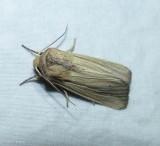 Adjutant wainscot moth (Leucania adjuta),  #10456