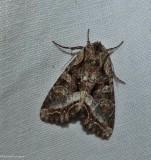 Grand arches moth  (Lacanobia grandis), #10300