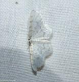 Fragile white carpet moth (Hydrelia albifera), #7423