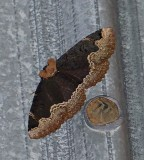Horrid zale moth  (Zale horrida), #8717
