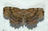 Scallop moth  (Cepphis armataria), #6835