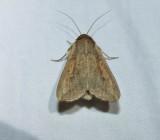 White speck moth   (Mythimna unipuncta), #10438