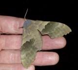 Modest sphinx moth  (Pachysphinx modesta), #7828