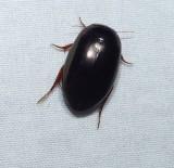 Predaceous diving beetle (Tribe-agabini)