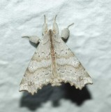 Angel moth (Olceclostera angelica), #7665