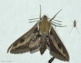 Gallium sphinx moth  (Hyles gallii), #7893