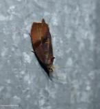 Spirea leaftier moth  (Evora hemidesma), #2866