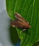Red-shawled moth  (Hypsopygia intermedialis),  #5526